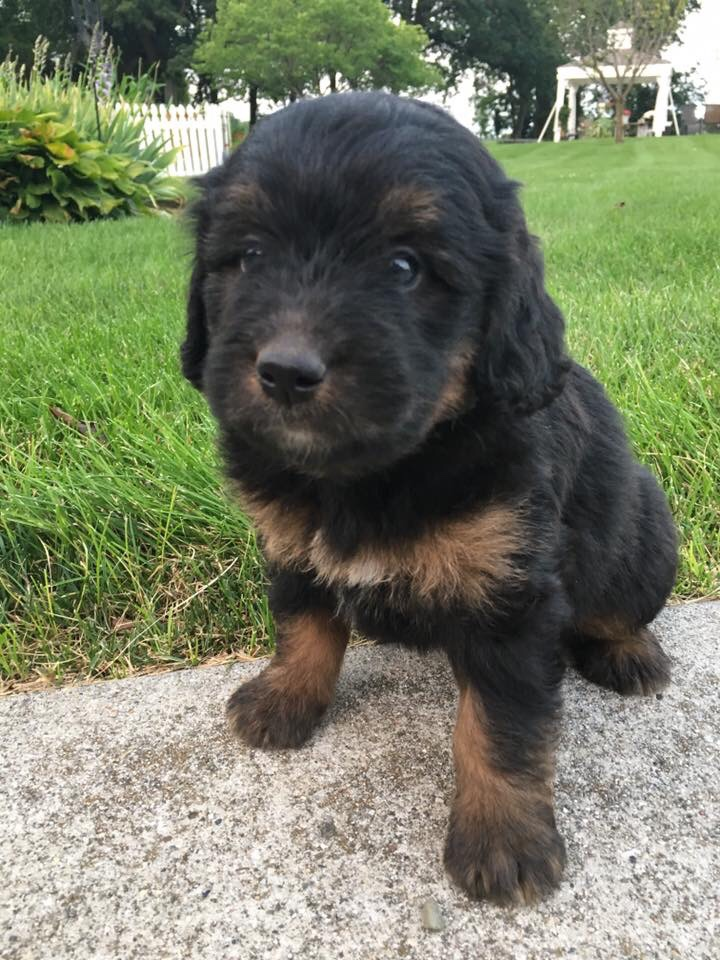 Miniature bernedoodles puppies